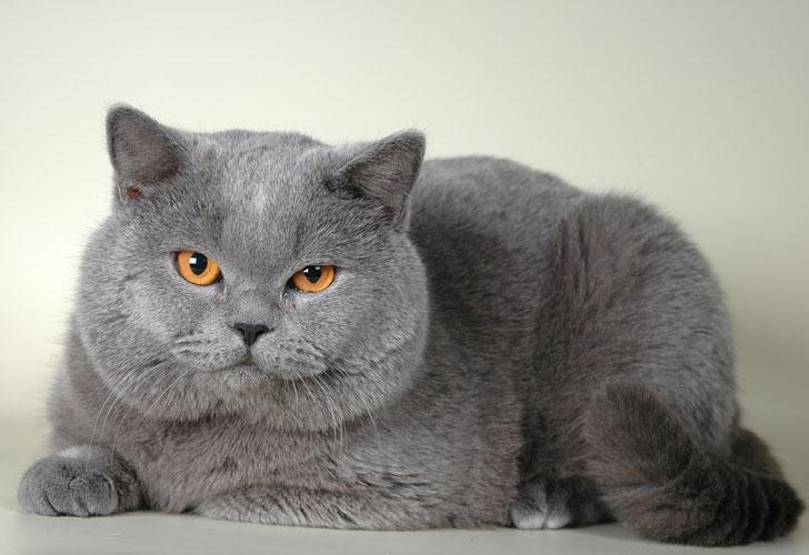 британский-кот