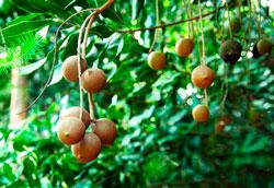 Удивительные свойства ореха макадамия