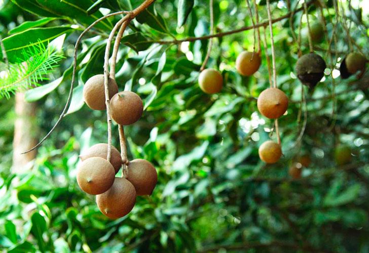 свойства ореха макадамия