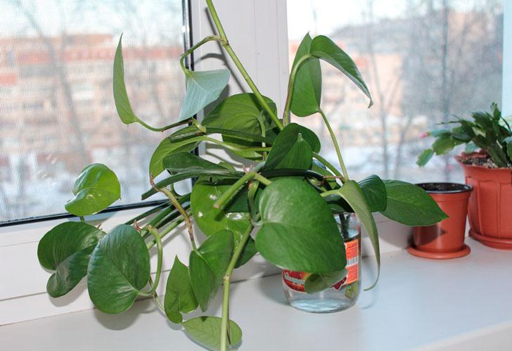 филодендрон-лазающий---самое-полезное-комнатное-растение