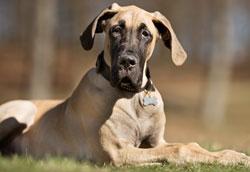 Как ухаживать за собакой после расширения-заворота желудка?